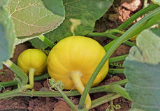 Pumpkins on Vine. Unripe and ripening pumpkins on the vine in agriculture farm royalty free stock images