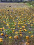 Pumpkins. Visitors to a pick your own pumpkin patch in Wolfville, Nova Scotia Royalty Free Stock Photos
