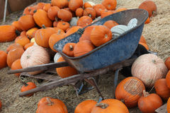 Pumpkins in a wheel barrow. A variety of pumpkins in a pumpkin patch. Some have been collected in a rusty old wheel barrow stock photography