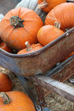 Pumpkins in a wheel barrow. A variety of pumpkins in a pumpkin patch. Some have been collected in a rusty old wheel barrow stock image