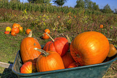 Pumpkins in Wheelbarrow Royalty Free Stock Images