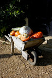 Pumpkins in wheelbarrow. During Halloween Royalty Free Stock Photography