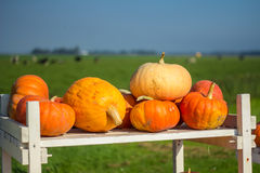 Pumpkins on a white table in the countryside Stock Photography