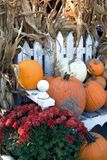 Pumpkins With Red Mums Royalty Free Stock Images