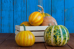 Pumpkins in a wooden box on blue rustic style Royalty Free Stock Image