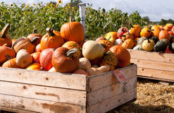 Pumpkins in the wooden boxes ready for sale Stock Images
