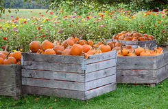 Pumpkins and zinnias Stock Photos