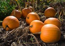 pumpkins1 Royaltyfri Bild