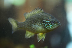 Pumpkinseed (Lepomis gibbosus). Stock Photo