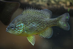 Pumpkinseed (Lepomis gibbosus). Royalty Free Stock Photography