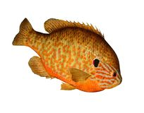 Pumpkinseed Sunfish (Lepomis gibbosus) Royalty Free Stock Images