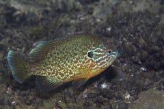 Pumpkinseed sunfish Royalty Free Stock Photos