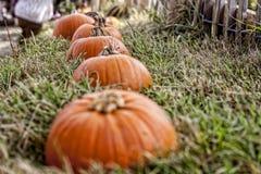 Pumplins allen op een rij Royalty-vrije Stock Foto
