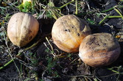Pumpor på ett fält av svart jord Royaltyfri Fotografi