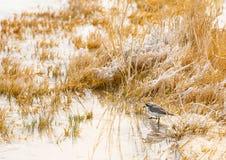 Puna brockfågel i en salt lagun, Atacama öken Royaltyfri Fotografi