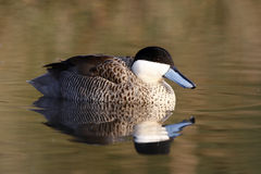 Puna teal, Anas puna Royalty Free Stock Images