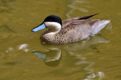 Puna teal swimming on water Royalty Free Stock Images