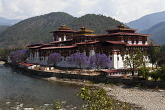 Punanakha Dzong with jacaranda trees, Bhutan Stock Images