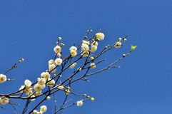 A punch of white flowers. Up in the blue sky Royalty Free Stock Photo