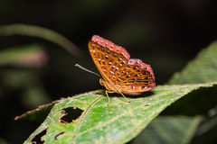 The Punchinello butterfly Stock Images