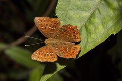 Punchinello, PS di Zemeros, Riodinidae, colline di Jampue, Tripura immagine stock libera da diritti