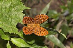 Punchinello, SP de Zemeros, Riodinidae, Maharani, Tripura imagen de archivo