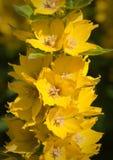 punctata lysimachia Стоковое Изображение RF
