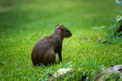 Punctata van Centraal-Amerika van agoutidasyprocta Het wilddier stock foto's