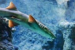Punctatum Chiloscyllium акулы Brownbanded бамбуковое стоковая фотография