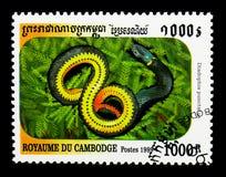 punctatus Anillo-necked del Diadophis de la serpiente, serpientes del serie de Camboya, circa 1999 Imagenes de archivo