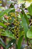 Puncticulatum Miq Antidesma Mamao & x28 ταϊλανδικό name& x29  Στοκ Εικόνα