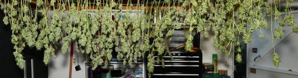 8 pund av ny marijuana som hänger för att torka royaltyfri foto