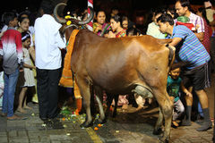 Pune, India - November 7, 2015: People in India worshipping the. Cow on the occasion of Diwali festival in India on Vasubaras day Royalty Free Stock Image