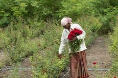 PUNE, MAHARASHTRA, June 2018, Women worker plucking rose flowers in the field. stock photography