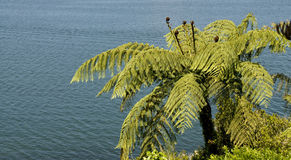 Punga fern by the lake. A NZ native fern tree overlooking a lake Stock Photography