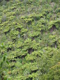 Punga ferns. Punga treen ferns crowd a hillside in New Zealand royalty free stock images
