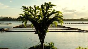 Pungapung Plant at lake shore. Pungapung Plant grown at lake shore during sunset. tracking shot, silhouettes stock footage