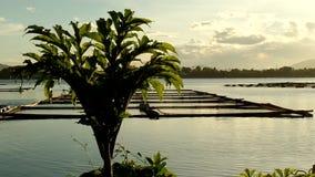 Pungapung Plant at lake shore. Pungapung Plant grown at lake shore during sunset. tracking shot, silhouettes stock video