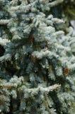 Pungens Picea Стоковые Изображения RF