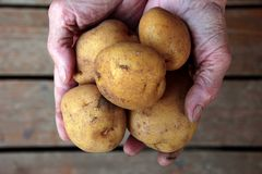 Punhado das batatas nas mãos enrugadas Imagem de Stock