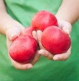 Punhado das maçãs Mulher que guarda maçãs nas mãos Imagens de Stock