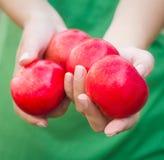 Punhado das maçãs Mulher que guarda maçãs nas mãos Imagem de Stock