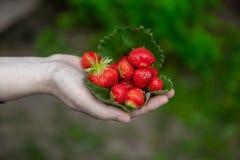 Punhado das morangos nas mãos imagem de stock royalty free