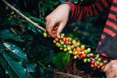 Punhado de feijões de café orgânicos frescos Fotografia de Stock
