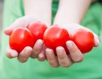 Punhado do tomate Mulher que guarda o tomate nas mãos Imagem de Stock