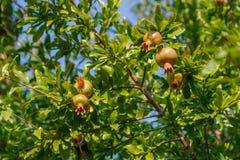 Punica granatum, arbre de grenade avec le fruit non mûri vert Image stock