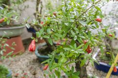 Punica granatum bonsai in blossom. Red fruits.  Stock Photos