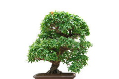 Punica Granatum bonsai tree Stock Image