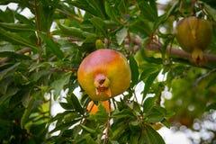 Punica granatum de grenade sur le son Iran rentré par arbre Photos stock