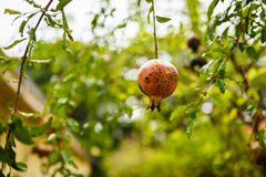 Punica granatum Diseased. Rotten pomegranate on the tree Stock Photography